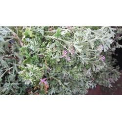 Eau florale de Géranium